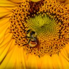 Bumble Bee On Sunflower Digital Art Image Photograph