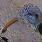 Meerkat Crouches Digital Art Image Photograph