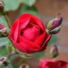 Red Rose 2 Digital Art Image Photograph