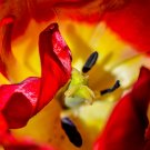 Inside the Red Tulip Digital Art Image Photograph