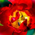 Above the Red Tulip Digital Art Image Photograph