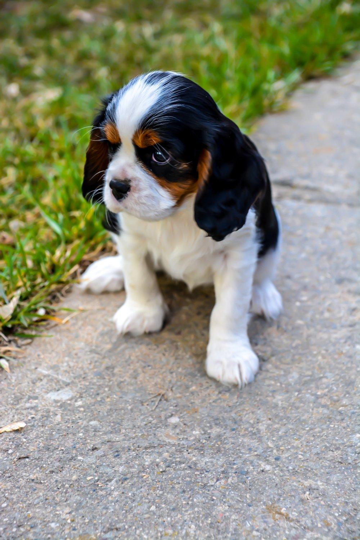 Cute Cavalier King Charles Spaniel Pup Digital Art Image Photo
