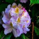 Purple And White Flower Bush Digital Art Image Photograph