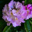 Purple And White Flower Bush 1 Digital Art Image Photograph