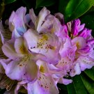 Purple And White Flower Bush 2 Digital Art Image Photograph