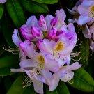 Purple And White Flower Bush 3 Digital Art Image Photograph