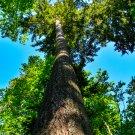 Tall Tree Digital Art Image Photograph