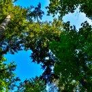 Tall Tree 1 Digital Art Image Photograph