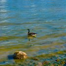 Duck On the Ocean Shores Digital Art Image Photograph