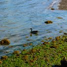 Duck On the Ocean Shores 1 Digital Art Image Photograph