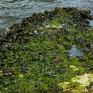 Seaweed Outcropping Digital Art Image Photograph