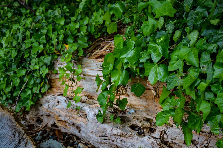 Vine Covered Log Digital Art Image Photograph
