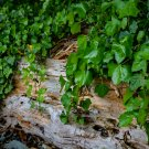 Vine Covered Log Digital Art Image Photograph