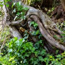 Vines On A Tree Stump Digital Art Image Photograph