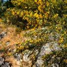 Yellow Caraghana Bush Flowers Digital Art Image Photograph