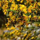 Yellow Caraghana Bush Flowers 1 Digital Art Image Photograph