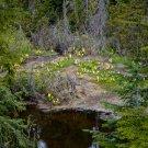 Yellow Skunk Weed Field Digital Art Image Photograph
