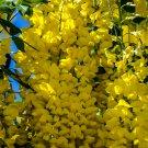 Yellow Flower Cluster Tree 1 Digital Art Image Photograph