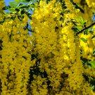 Yellow Flower Cluster Tree 2 Digital Art Image Photograph