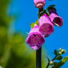 Purple Bell Flowers Digital Art Image Photograph