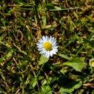 Little White Wildflower Digital Art Image Photograph