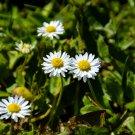 Little White Wildflowers Digital Art Image Photograph