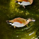 Swimming Duck Digital Art Image Photograph