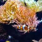 Clown Fish and Anemone Digital Art Image Photograph