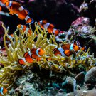 Clown Fish and Anemone 1 Digital Art Image Photograph
