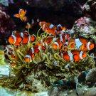 Clown Fish and Anemone 2 Digital Art Image Photograph