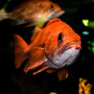 Curious Orange Fish Digital Art Image Photograph