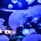 Blue Jellyfish 1 Digital Art Image Photograph