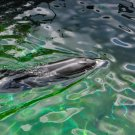 Dolphin Swimming Digital Art Image Photograph