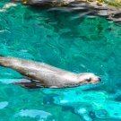 Swimming Seal Digital Picture Art Image