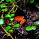 Peeping Orange Frog Digital Image Art Photograph