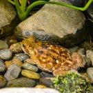 Bull Frog 1 Digital Art Image Photograph