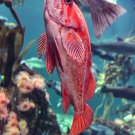 Curious Red Fish Digital Art Image Photograph
