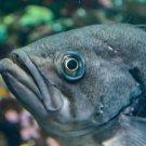 Curious Grey Fish Digital Art Image Photograph
