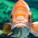 A Face Only A Mother Could Love Orange Fish Digital Art Image Photo