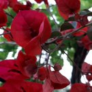 Bougainvillea - 2 cuttings - red