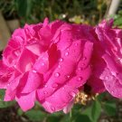 Rosa × damascena (bulgarian rose) - RARE - 2 cuttings * extremely scented.