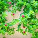 Mesembryanthemum cordifolium/Aptenia Cordifolia (heart leaved aptenia) - 5 cuttings * scented