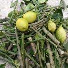 Citrus limon (Limone Lunario) - 3 cuttings * 4 season lemon