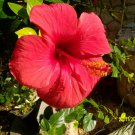 hibiscus - 3 cuttings * Single red flower