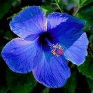 3 Blue Hybrid Hibiscus Cuttings Bush Shrub Make Your Own Plant