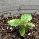 """Dorstenia foetida exotic rare succulent plant cactus 3.5"""" plastic pot"""