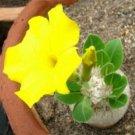 1x Yellow Desert Rose Adenium Obesum Seed