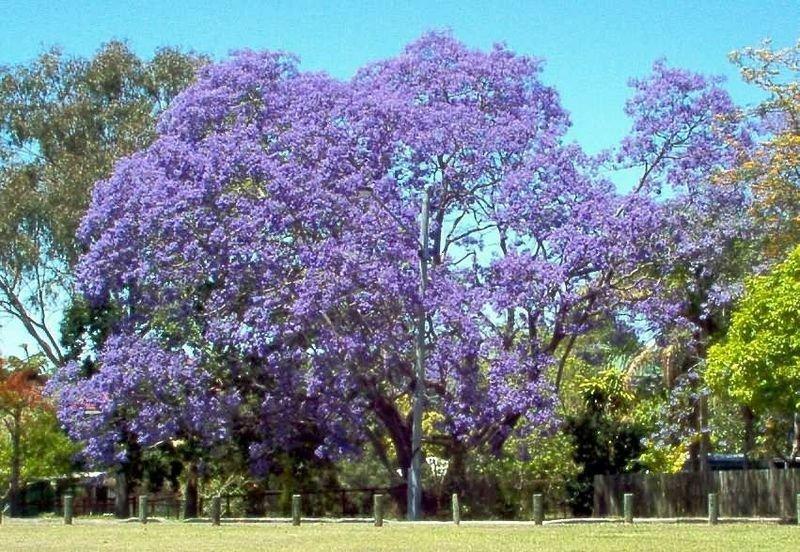 Fresh Seeds jacaranda JACARANDA MIMOSIFOLIA blue flowering TREE 50 seeds