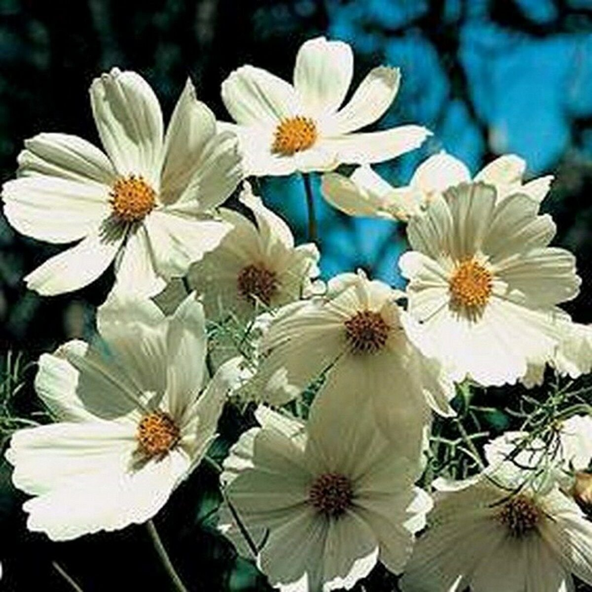Fresh Seeds Cosmos Purity White 100 Seeds