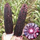 60 red corn seed, Vegetable seed